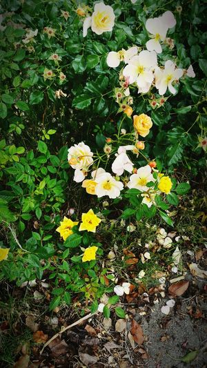 Front yard flowers. Flowers, Nature And Beauty Plants 🌱 Flower Photography Plant Photography Rose🌹 Flower Nature Nature_collection Garden Photography Nature Photography Natures Diversities The Great Outdoors With Adobe