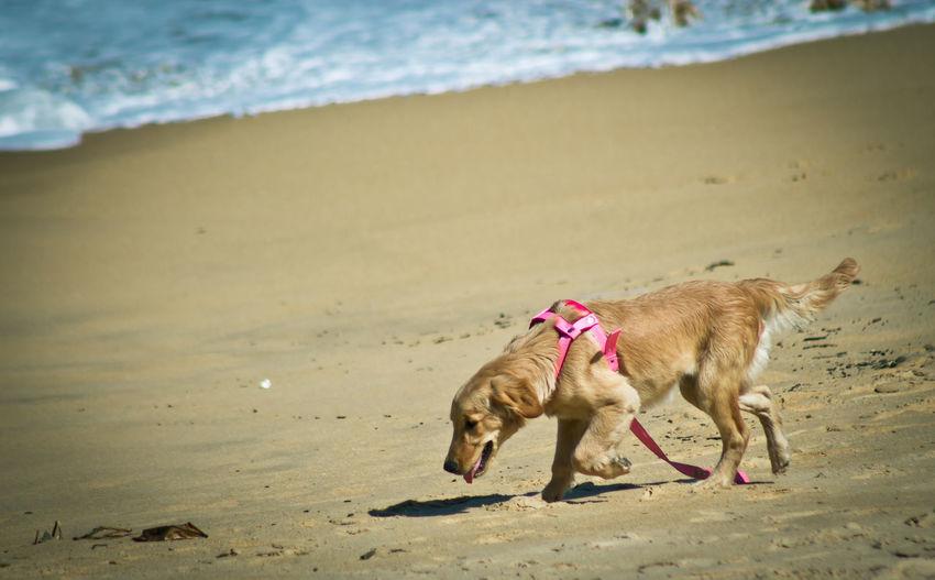 Side View Of Golden Retriever Walking At Beach