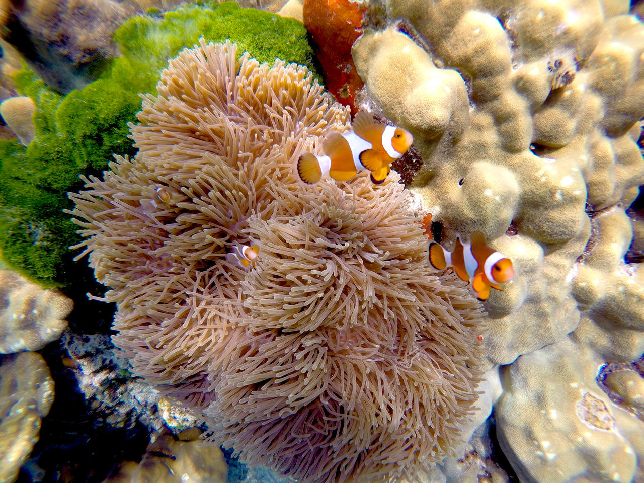 underwater, clown fish, undersea, sea anemone, coral, animal themes, sea life, water, sea, symbiotic relationship, animals in the wild, no people, animal wildlife, nature, close-up, outdoors, day