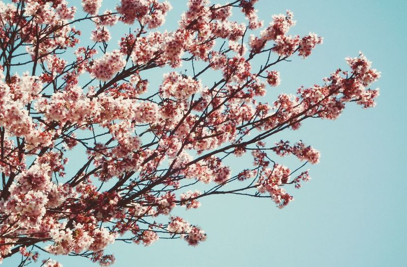 Flower Tree Cherry Blossom Blossom Growth Beauty In Nature Branch Fragility Cherry Tree Springtime Nature Low Angle View Pink Color No People Freshness Day Twig Clear Sky Outdoors Flower Head Sakura Week On Eyeem The Week On EyeEm Perspectives On Nature