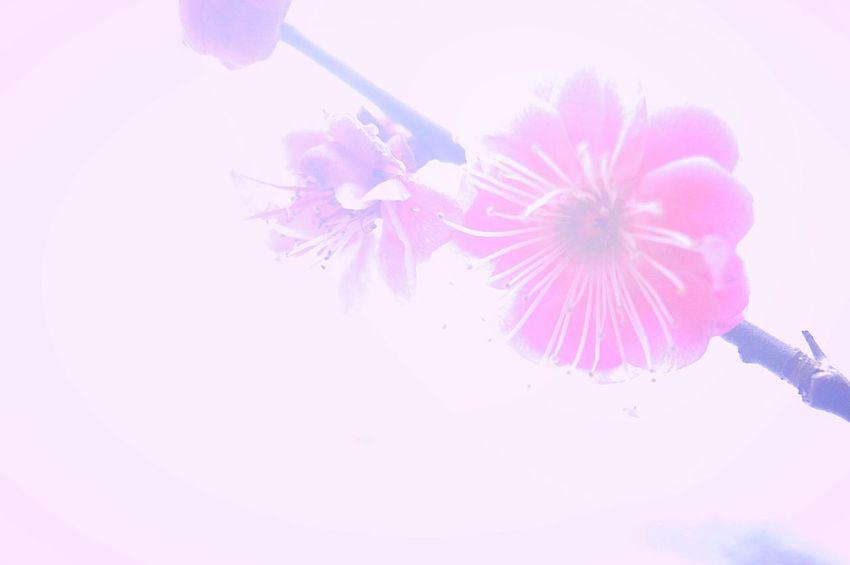 霞 Showcase: February Airy Flowers Airy Flower Collection Fleshyplants Bokeh Plum Bokeheffect Japan 梅 Colors Blossom EyeEm Nature Lover Taking Photos