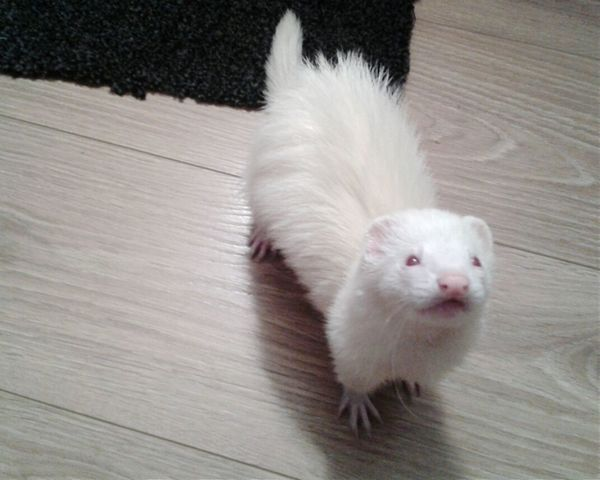 Albino My Princess <3 My Ferret Pet Photography  Cute Pets Animallovers Black White Flooring Carpet Paws EyeEm Animal Lover Check This Out