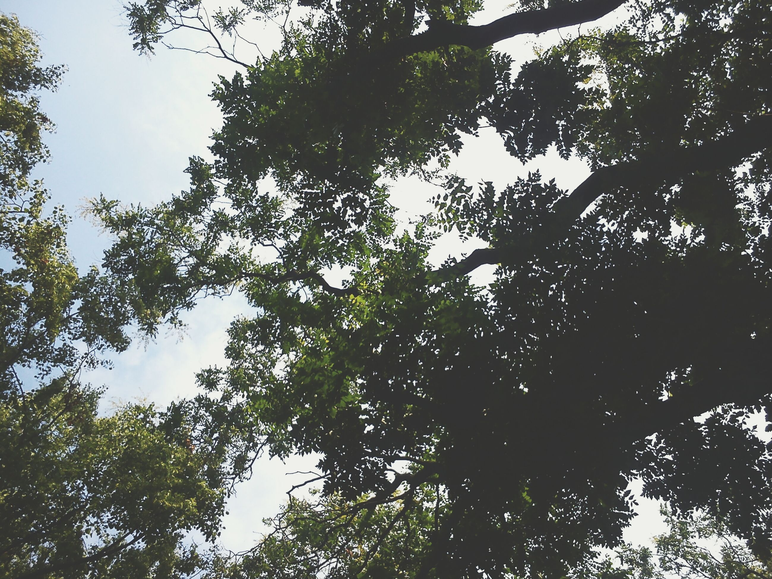tree, low angle view, branch, growth, tranquility, nature, beauty in nature, sky, forest, scenics, tranquil scene, green color, outdoors, tree trunk, day, no people, clear sky, sunlight, lush foliage, leaf
