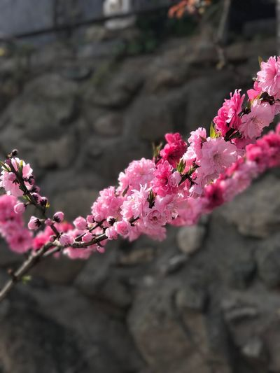 I assure you the colour is 100% true to life. The cherry blossom really was that vibrant! Flower Growth Beauty In Nature Fragility Nature Pink Color Freshness No People Petal Outdoors Day Plant Blossom Close-up Springtime Branch Flower Head Blooming Tree Water (null)IPhone IPhone7Plus IPhoneography Unedited