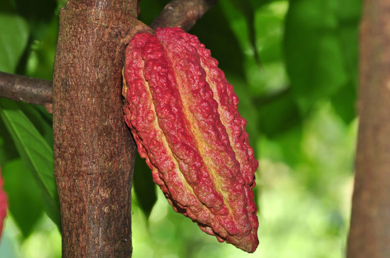 cacao fruits on tree Focus On Foreground Plant Close-up Growth Day No People Red Nature Tree Outdoors Freshness Beauty In Nature Food And Drink Tree Trunk Food Trunk Leaf Green Color Plant Part Tranquility