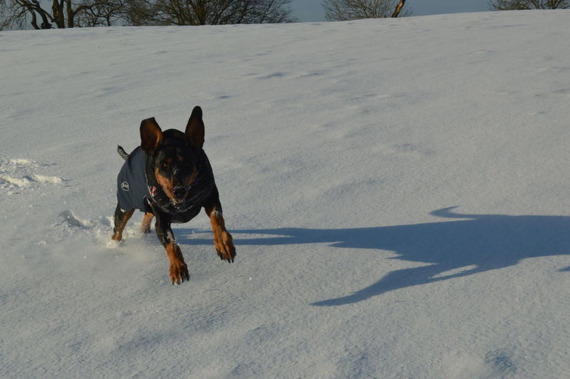 Snow Doberman  Winter EyeEm Selects Dog Pets Domestic Animals Animal Themes Animal Running Playing Outdoors No People One Animal