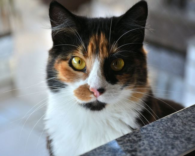 One Animal Pets Domestic Animals Animal Body Part Animal Domestic Cat Animal Themes Mammal Feline Whisker Animal Hair Animal Head  Looking At Camera Portrait No People Close-up Closing Outdoors Day Cats Cats Eyes Babycat Tricolor Cat Cats 🐱 Cats Of EyeEm Perspectives On Nature