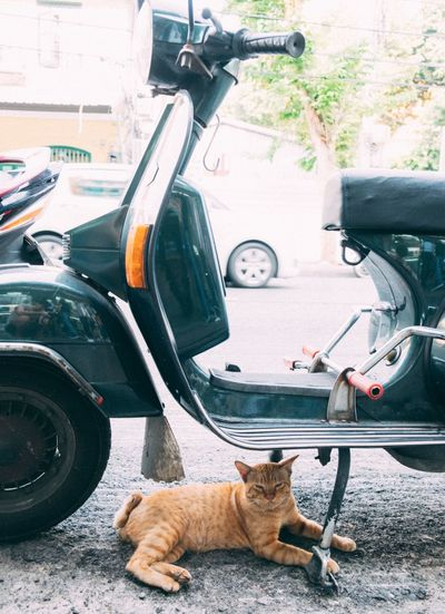 Portrait Of A Cat Under Scooter