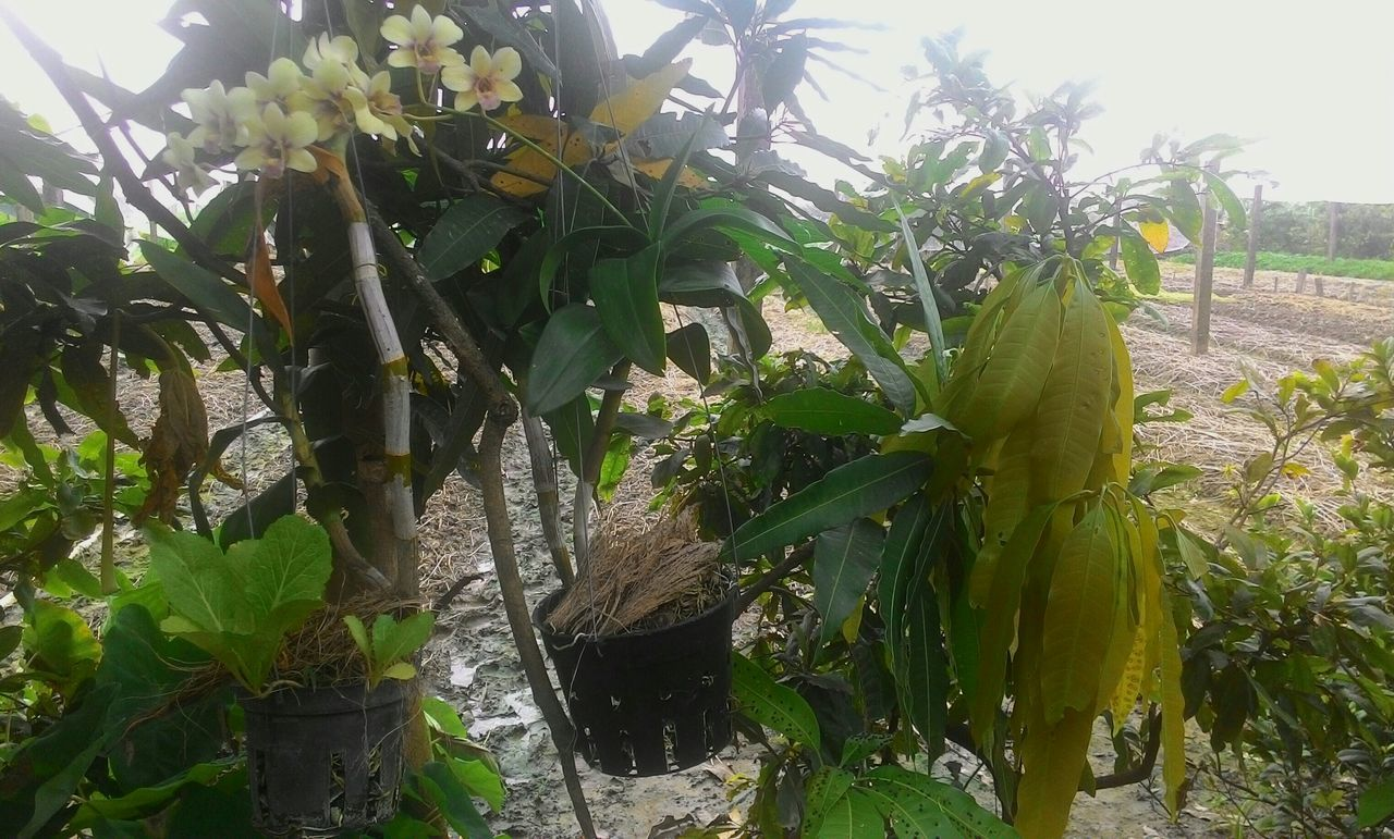 growth, green color, leaf, no people, banana tree, day, tree, nature, plant, outdoors, beauty in nature, freshness, food, close-up