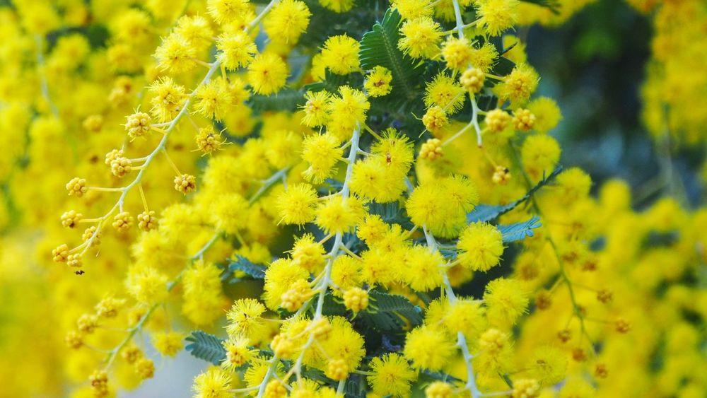 happy wattle day! Australian Flower Australian Flora Australian Flowers Wattle Wattle Flower Australian Bushland Australia Flower Head Flower Yellow Close-up Plant Blossom Flowering Plant In Bloom Pollen