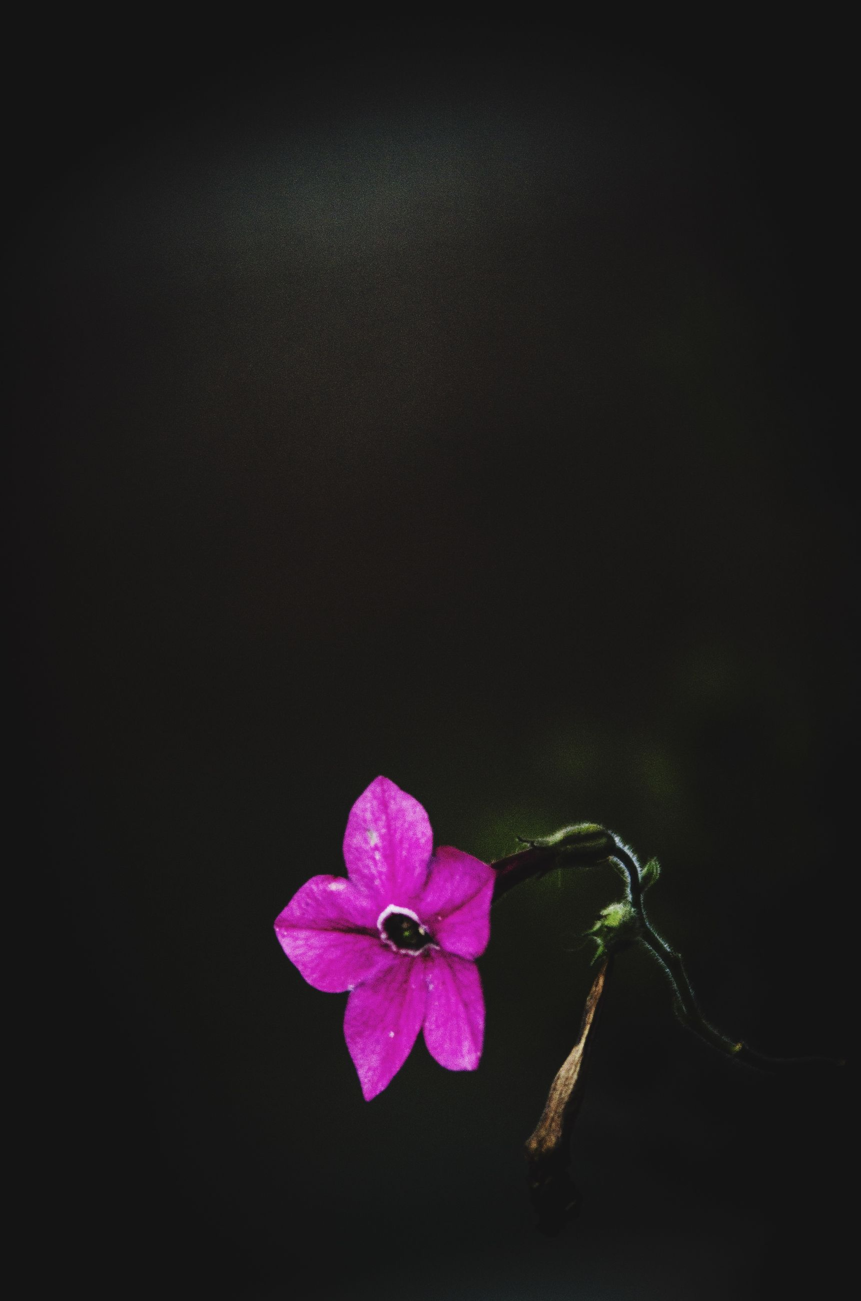 flower, petal, fragility, freshness, pink color, beauty in nature, flower head, studio shot, close-up, copy space, growth, nature, purple, blooming, pink, plant, in bloom, no people, black background, high angle view
