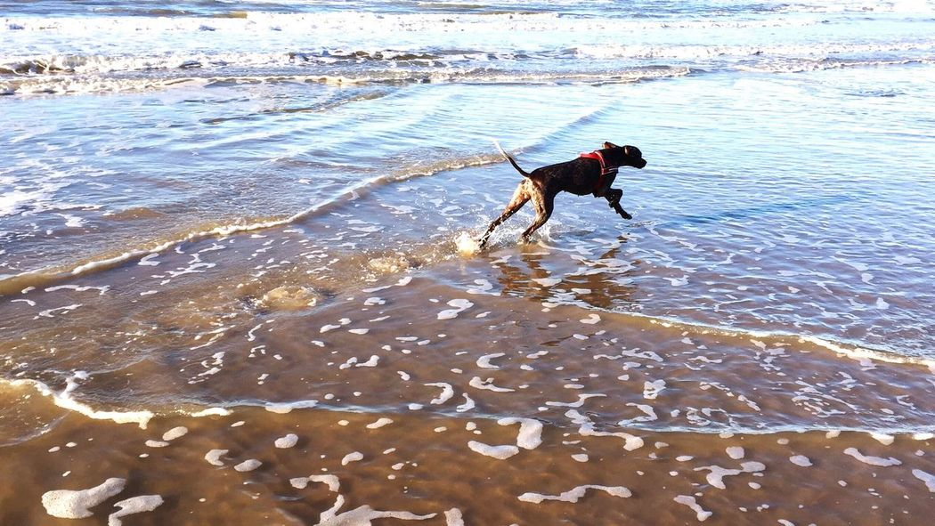 we've been to the beach. she was so happy and run around all day. so i was also happy! I Love My Dog Gsp Heading Out Beach Weekend Feelfree