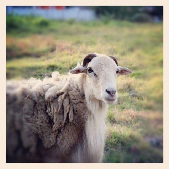 I miss Budoy :)) :> :/ Cagayanvalley Sheep Random Cute love