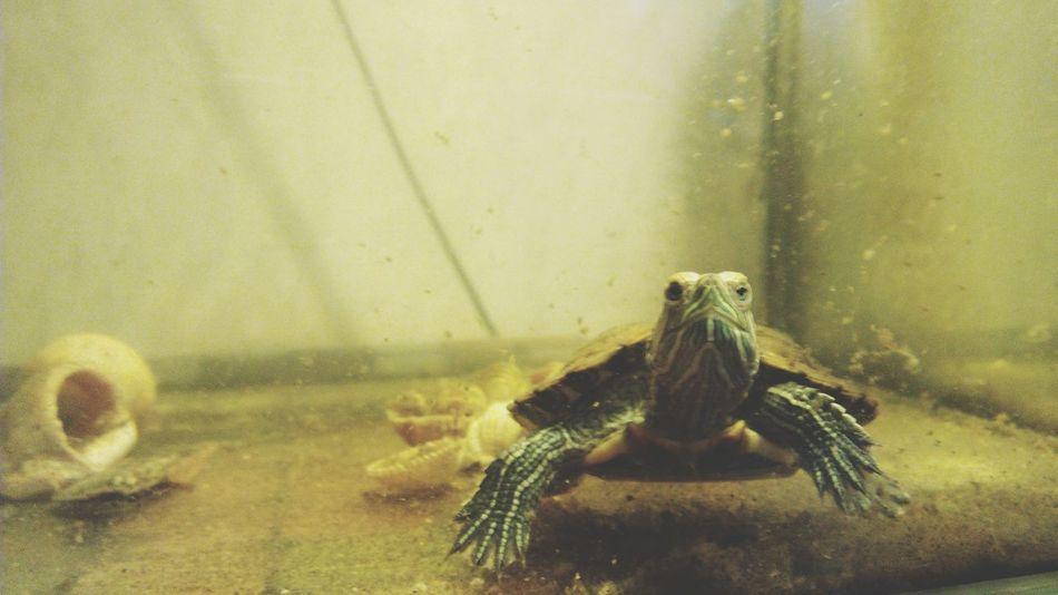Tortoise Pet