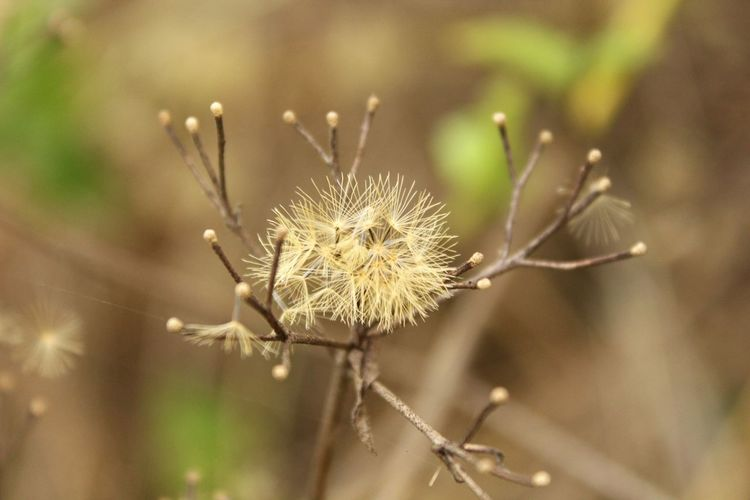 nature Plant In Wild Outdoors Outdoor Photography EyeEm Selects Flower Uncultivated Thistle Flower Head Close-up Plant