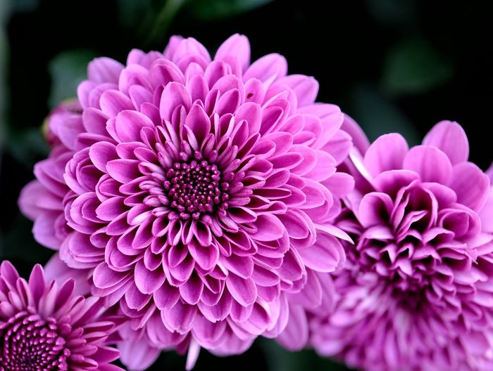 Close-up of pink dahlia flowers