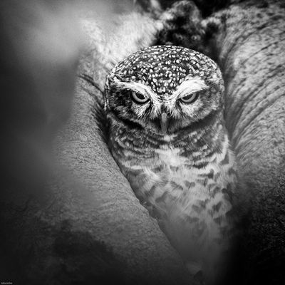 0v0 Vscocam Owl Bird Thailand Rest Amzthld Igersth Wildlifephotography Wild Wildlife Nikonnofilter Nikon 500mm Photooftheday Instagood Cute World_bestshot Wow_animal Wildlifeplanet Wildlife_perfection