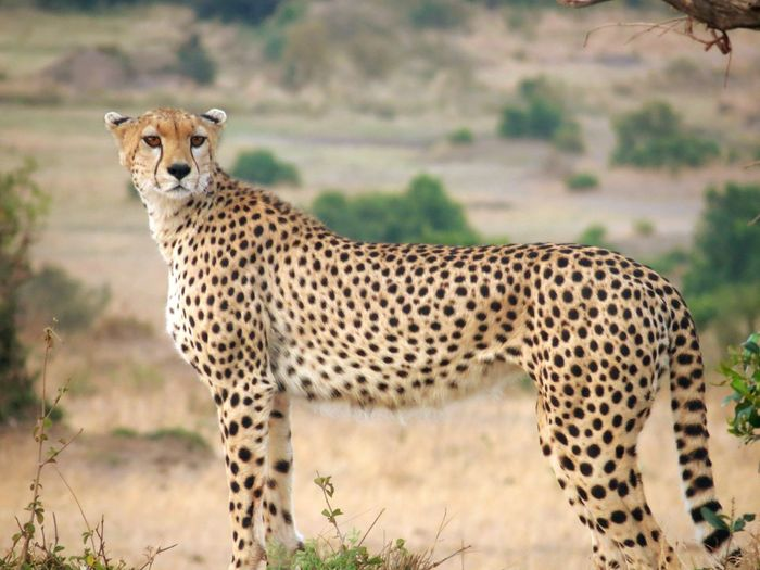 View of a cheetah on field ready to hunt