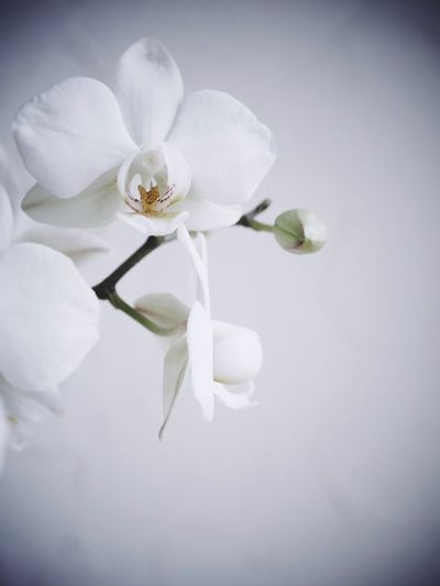 Orchids with vignette and copy space Vignette Flower Copy Space Nobody Orchidee Orchid Flower Beauty In Nature Plant Flowering Plant White Color Fragility Vulnerability  Petal Close-up Growth Flower Head No People Botany Nature