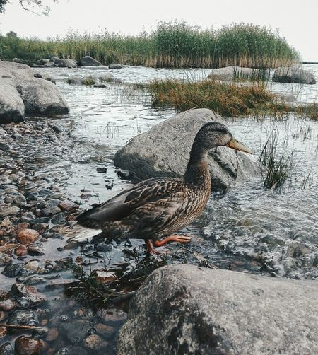 Say Hi to my Friend 😌 his name is Johnie and he is Duck. Animals Birds Landscape Water Enjoying Life Rock Nature