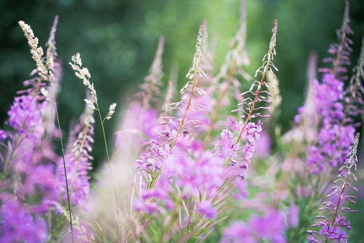 Fireweed Beauty In Nature Blooming Blossom Chamerion Angustifolium Fireweed Flower In Bloom July Meadow Nature Purple Selective Focus Summer Tranquility Willowherb