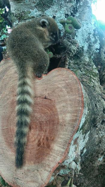 Misiones, Argentina Animal Wildlife Animals In The Wild Day Animal Themes One Animal Coati Nature Pet Portraits