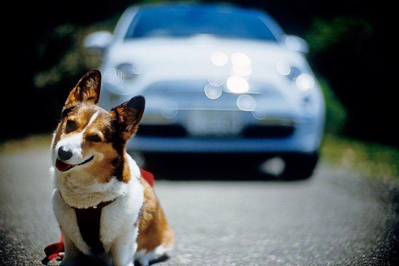 Pembroke welsh corgi sitting on road against car