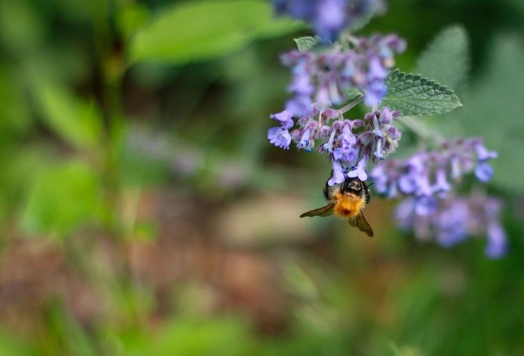 In the garden. Animal Themes One Animal Animals In The Wild Insect Animal Wildlife Nature Focus On Foreground Purple No People Beauty In Nature Outdoors Day Flower Pollination Close-up Bee Spread Wings Depth Of Field Garden Plant