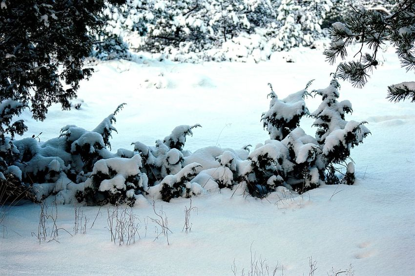 Snowcapped Snow❄⛄ It's Cold Outside Snow Covered Winter Forest Winter Season Winter Wintertime Winter 2016 Snowy Winter Day Winter_collection January Showcase: January Winter Trees Snowy Trees Snow Covered Branch Nature_perfection Cold Winter ❄⛄