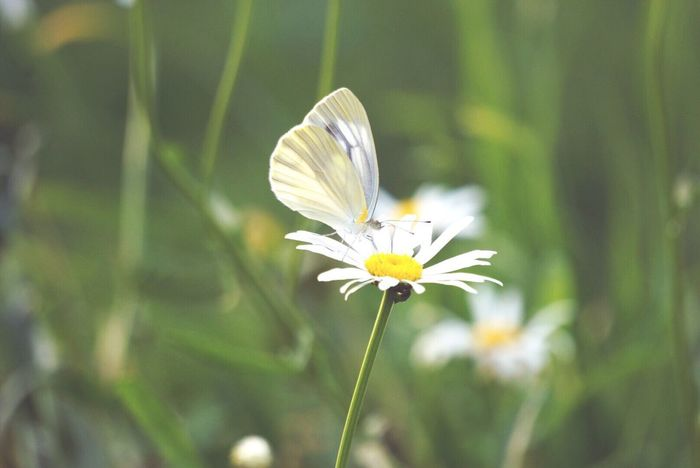 Nikon Nikon D5600 一眼レフ 蝶々 Butterfly Flower Nature Growth Fragility Petal Freshness Flower Head Beauty In Nature Plant White Color Close-up No People Day Focus On Foreground Blooming Outdoors