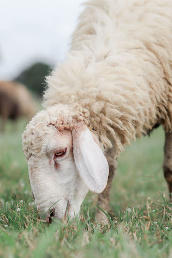 Close-up of a sheep on grass
