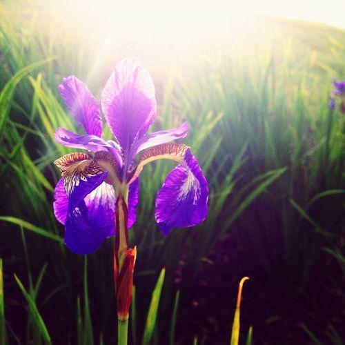 Iris Flower Sun Light Up Your Life