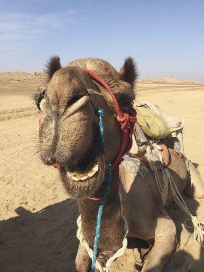 India Camel Animal Trip Travel Jaisalmer Road Street Desert