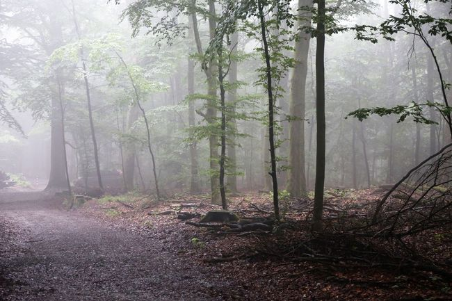 Foggy Forest Creepy Forest Foggy Weather Halloween Halloween Horrors Nebelschwaden Creepy Creepy Atmoshpere Creepy Places Creepy Woods Day Fog Fog In The Trees Foggy Foggy Forest Foggy Forests Foggy Morning Forest Halloween Background Nature No People Outdoors Tree Autumn Mood