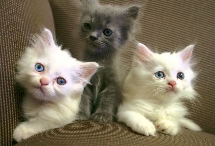 ...my cats kittens Pets Domestic Animals Domestic Cat Looking At Camera Persian Cat  Indoors  No People Close-up Animal Themes Portrait Kitten Young Animal Togetherness