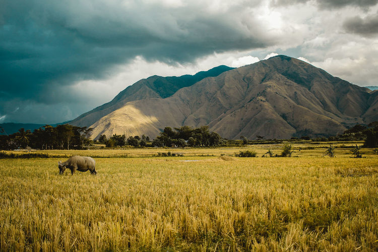 Buffalo standing on grassy field against cloudy sky