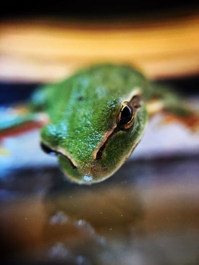 Macro Animal Themes Animal One Animal Animal Wildlife Animals In The Wild Vertebrate Close-up Animal Body Part Reptile Green Color Focus On Foreground Water Selective Focus