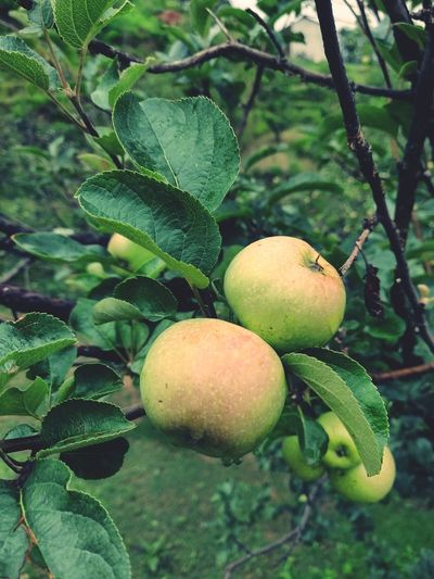 Fresh Apple 🍏 Oneplus Oneplus6 Awesomely Creative EyeEm EyeEmAwards Noida Market Oneplusphotograpgy India Krvishaljha Tree Fruit Leaf Agriculture Branch Citrus Fruit Rural Scene Unripe Ripe Close-up Orchard Fruit Tree Apple Tree Vitamin C Cultivated Cultivated Land Plantation Apple Blossom