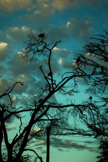 marabou storks on an old acacia. Bare Tree Beauty In Nature Branch Cloud - Sky Day Dusk Low Angle View Nature No People Outdoors Scenics Silhouette Sky Sunset Tranquil Scene Tranquility Tree
