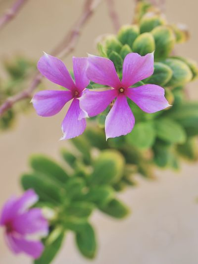 Beautiful couple Bokeh Nature Warm Morning Floral Photography Flower Head Flower Purple Pink Color Petal Close-up Plant In Bloom Plant Life Botany Blooming