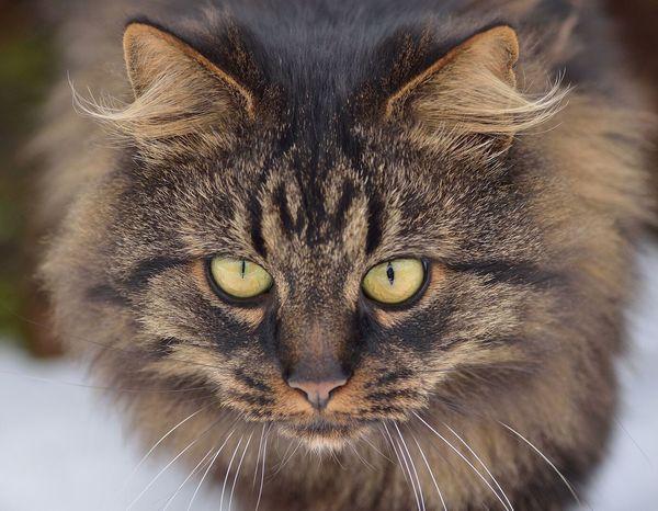 Katze Norwegische Waldkatze Bubi