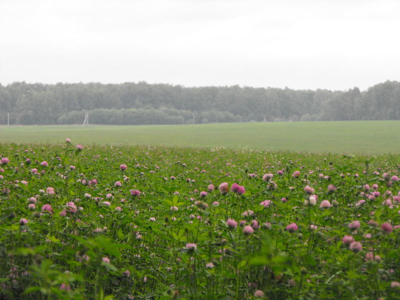 Clover Fields of Summer Agriculture Close-up Clover Clover Field Day Field Flower Flower Head Fragility Freshness Growth Landscape Moscow Region Nature No People Outdoors Plant Rural Rural Scene Russia Scenics Tranquil Scene Tranquility деревня поле
