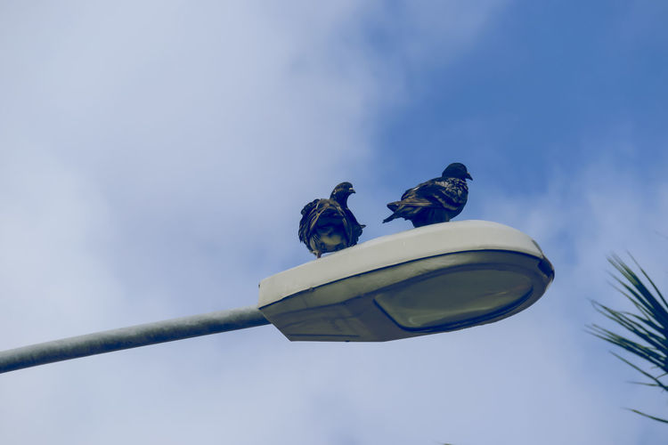 Low Angle View Of Pigeons On Street Light