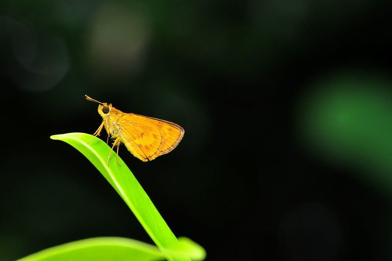 Close-up of yellow moth on leaf