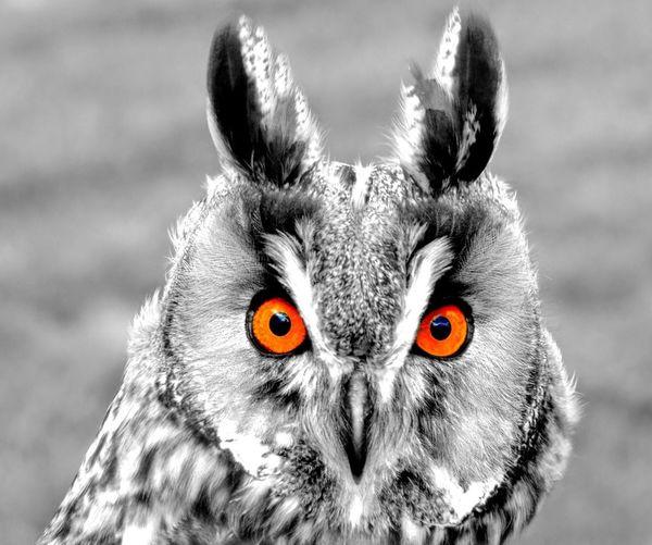 EyeEm Selects Looking At Camera Animal Body Part One Animal Close-up Eye Animal Wildlife Bird Nature Portrait Headshot Owl Art Owl Eyes Owl Owl Portrait. EyeEmNewHere