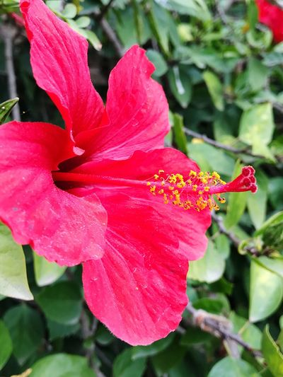 Petal Flower Fragility Growth Nature Red Beauty In Nature Flower Head Outdoors Day Hibiscus Plant Close-up No People Pink Color Blooming Water Day Lily Parc Guell