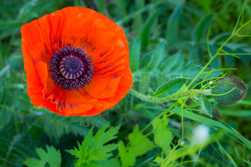 Beauty In Nature Blooming Blütenstaub Blűtenstempel Close-up Day Flower Flower Head Fragility Freshness Green Color Growth Leaf Mohn Mohnblume Mohnblüte Nature No People Outdoors Petal Plant Poppy The Great Outdoors - 2017 EyeEm Awards