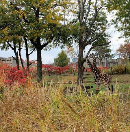 Giraffe Giraffes Giraffe♥ Giraffes! Giraffe ♡ Indianapolis Zoo Indiana Indianapolis  Zoo Zoo Animals  ZOO-PHOTO Zoo! Zoo Day