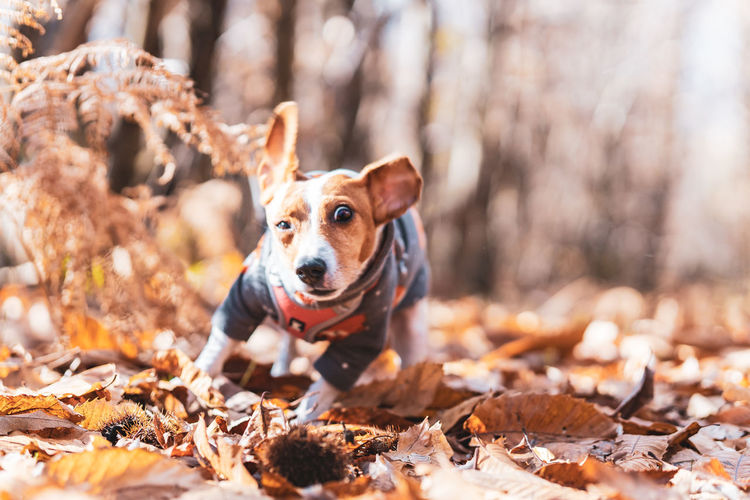 Tsunami the jack russell terrier dog shaking herself in an autumnal forest setting