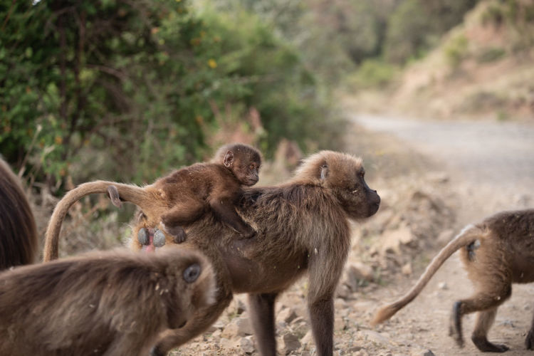 A gelada baby riding on his mother among a herd of monkeys in simien mountains, ethiopia